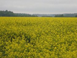 rape_field_-_panoramio